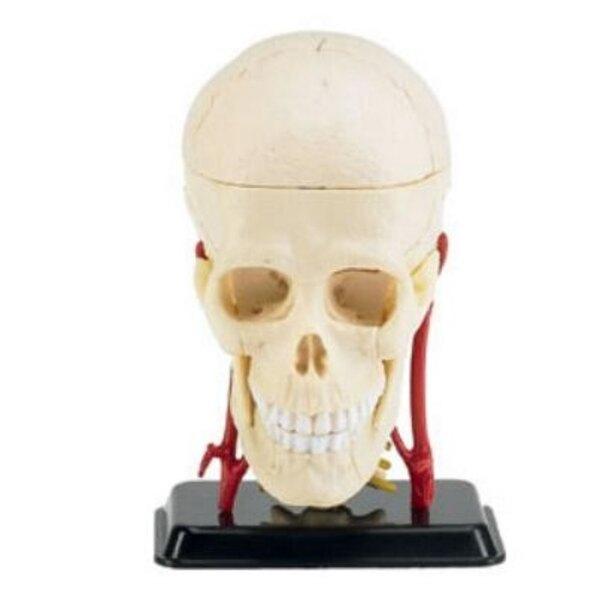 Skull 1:3