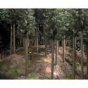 coniferous forest floor - 3 x uv