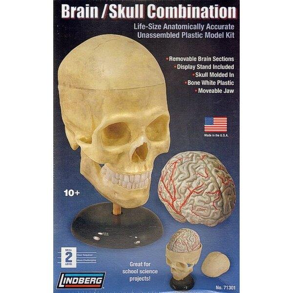Cráneo humano y el cerebro