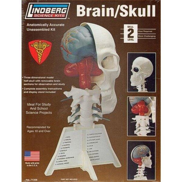 Brain / Skull Half